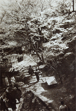 Sidare-zakuraOn the hillside of Yosinoyama