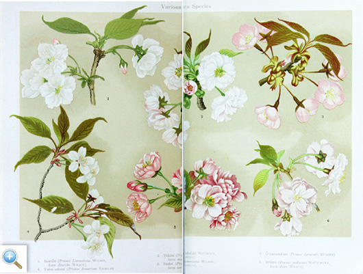 Varieties of sakura species